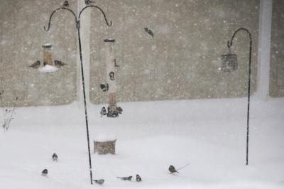 Snowstorm feeding frenzy.