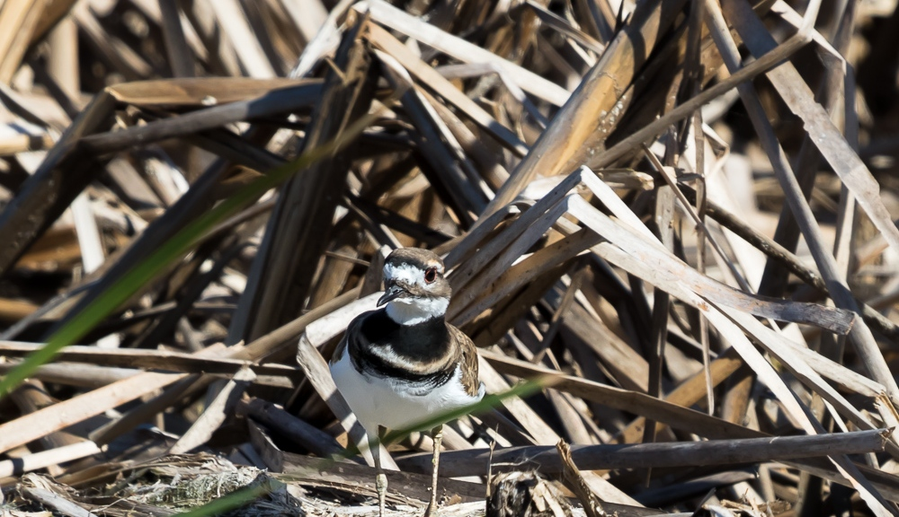Killdeer at edge of marsh