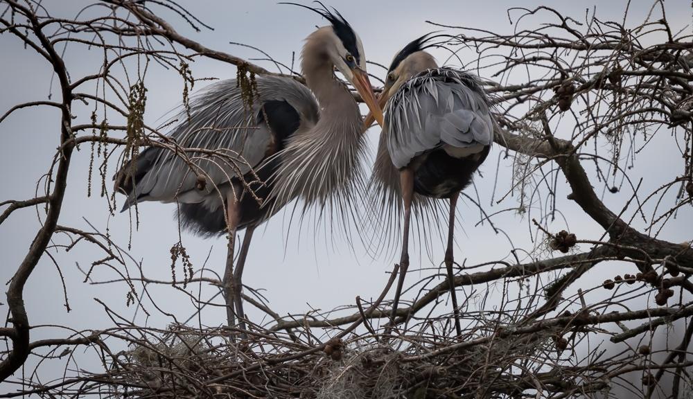 Great Blue Egret Pair