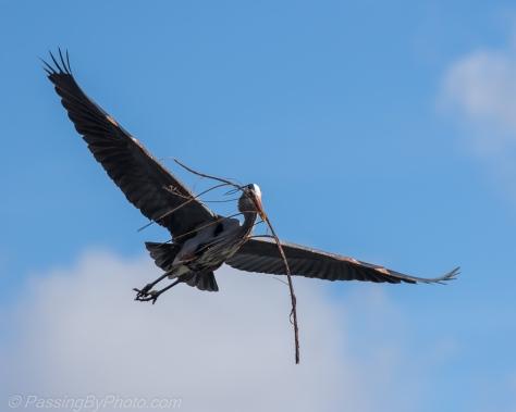 Great Blue Heron bringing sticks to nest
