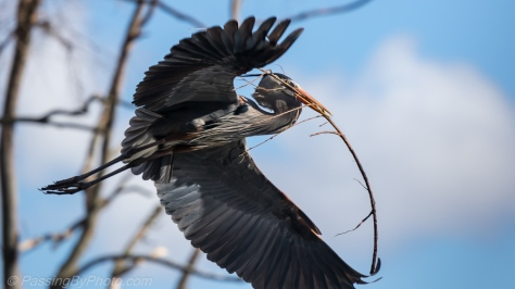 Great Blue Heron bringing sticks to nest