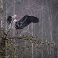 Great Blue Heron: Foggy Morning