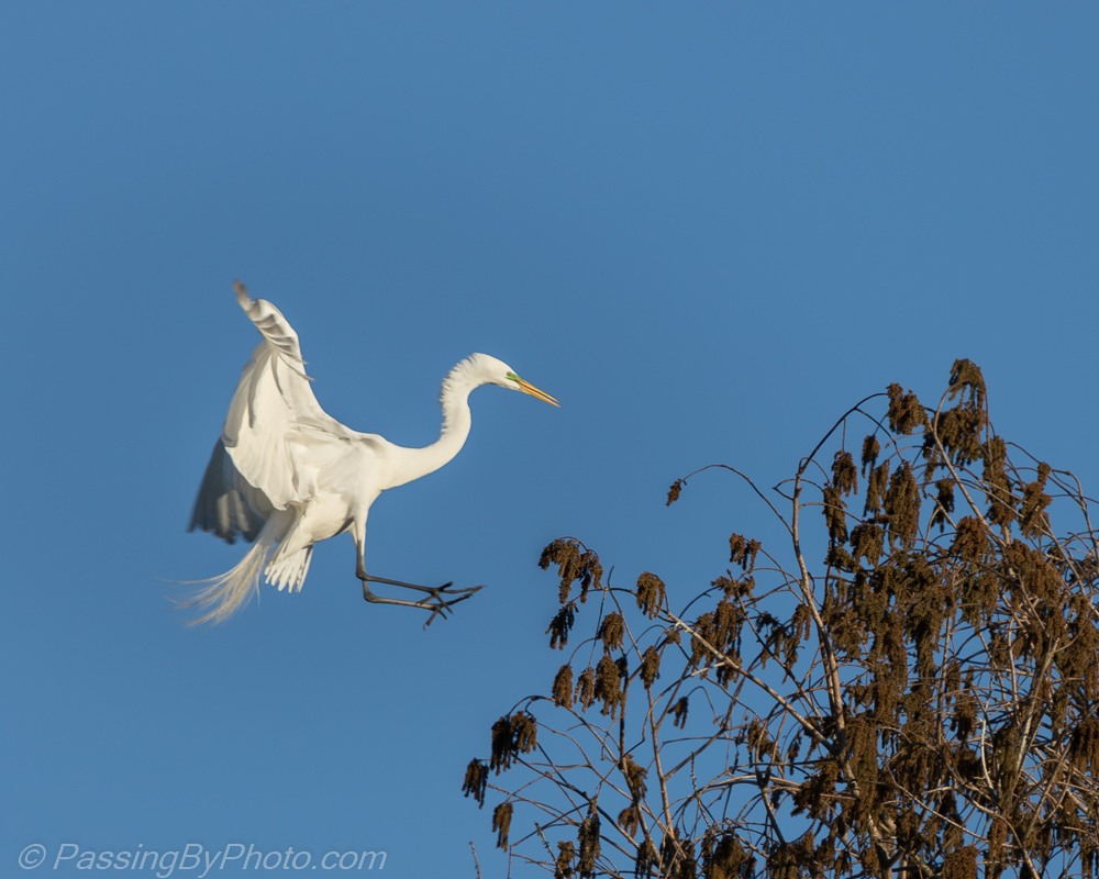 Great Egret Treetop Landing Passing By Photo