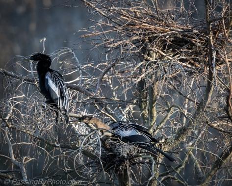 Anhinga Pair Nesting