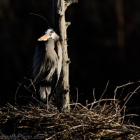 Great Blue Heron Standing Watch