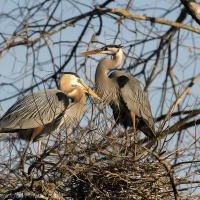 Great Blue Herons Mating Ritual