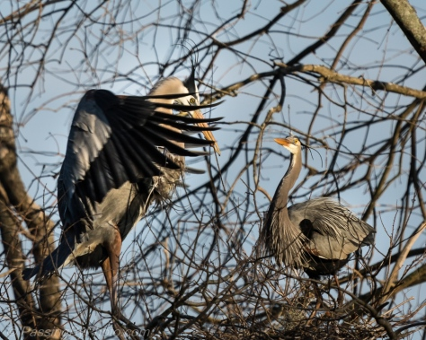 Great Blue Herons Mating Dance