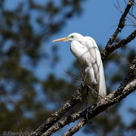 Great Egret posing on branch
