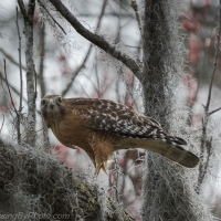 Red-shouldered Hawk Snake Snack