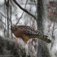 Red-shouldered Hawk Snake Snack
