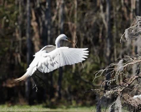 Great Egret Nest Building
