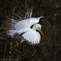 Great Egrets in Low Light