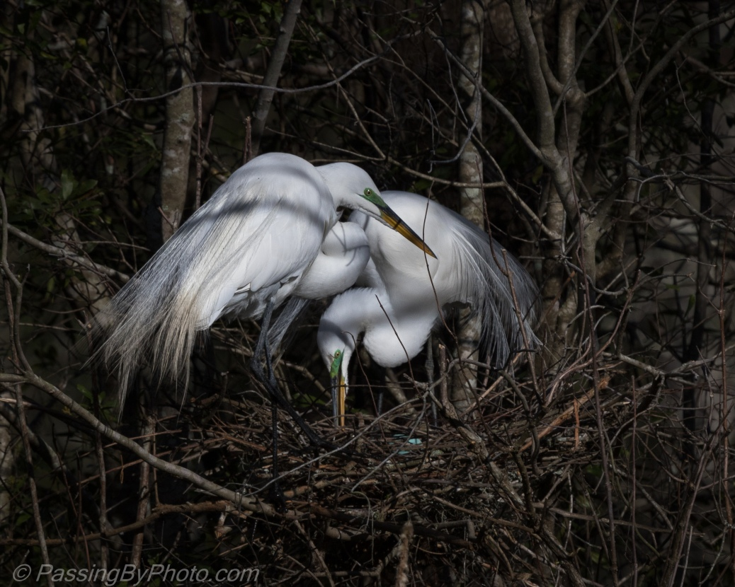 Great Egret Pair on Nest