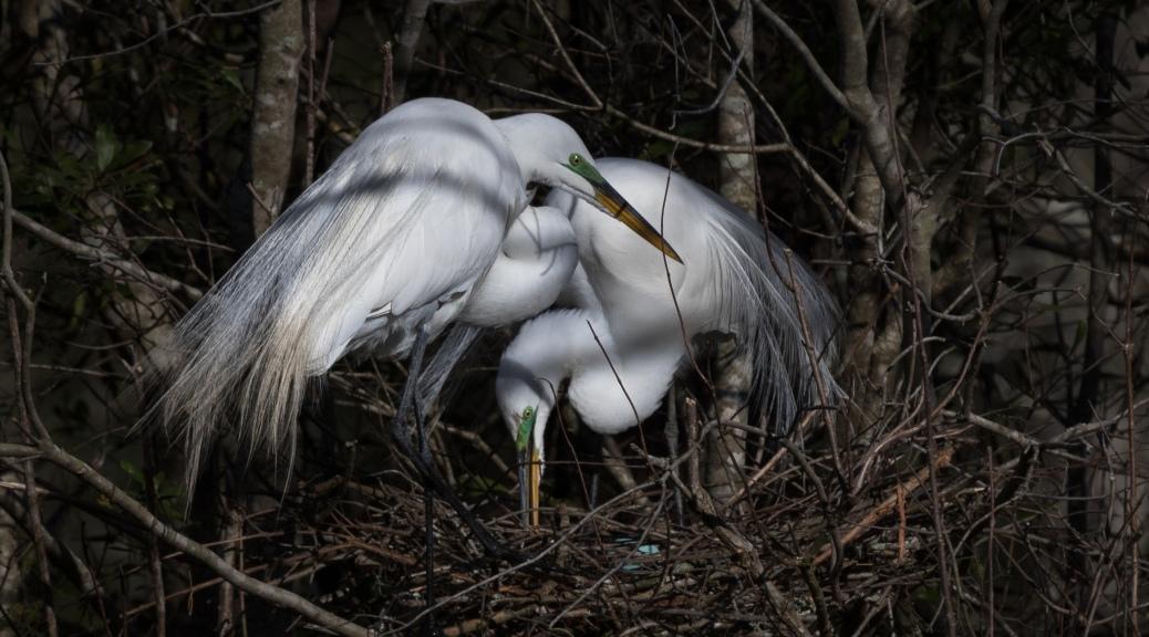 Great Egret Pair on Nest