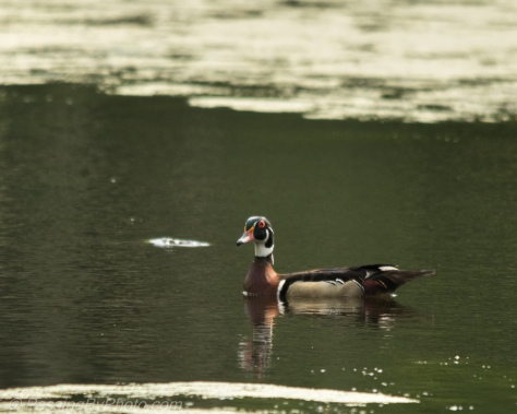 Wood Duck with Alligator Lurking