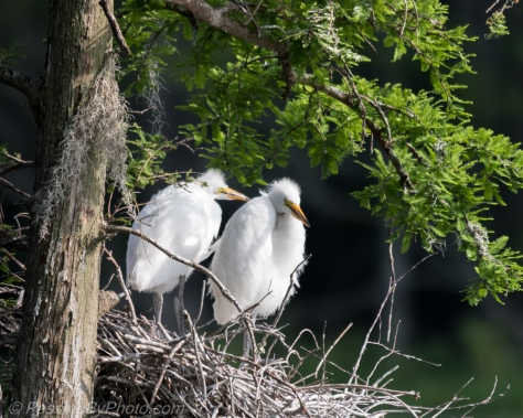 Two Great Egret Chicks