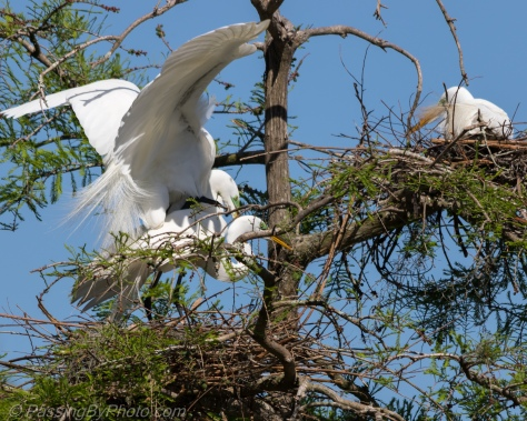 Great Egrets Nesting