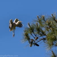 Black-crowned Night-Heron Maneuvers