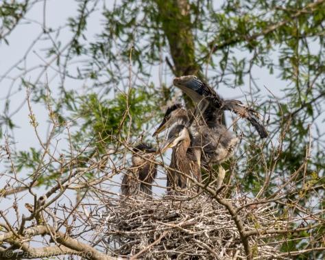Three Great Blue Heron Chicks