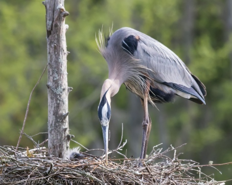 Great Blue Heron and few day old chick