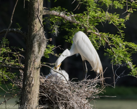 Great Egret Feeding Chicks