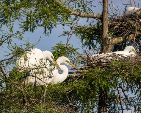 Great Egrets in Tree