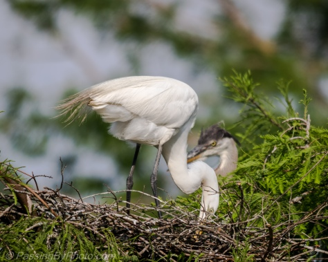 Great Egret and Great Blue Herons