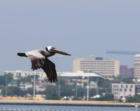 Pelican Gliding Over Charleston Harbor
