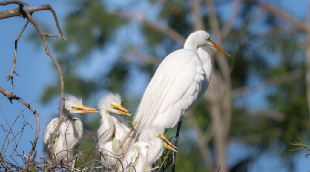 Three Great Egret Chicks in Nest