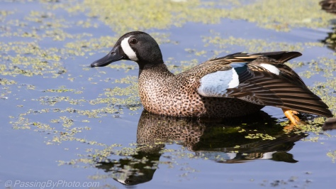 Reflecting Blue-winged Teal