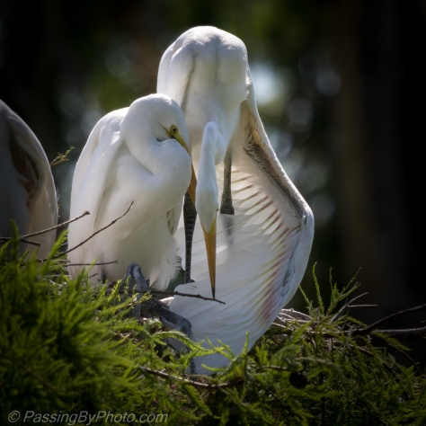 Great Egret parent huddled over chick