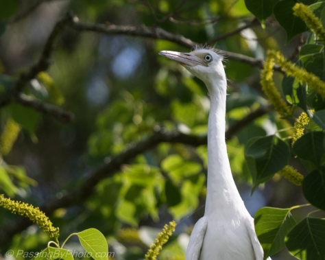 Little Blue Heron Chick