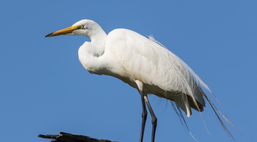 Great Egret on Limb