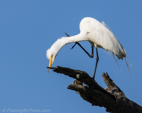 Great Egret on Limb