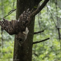 Barred Owl Gets Lunch