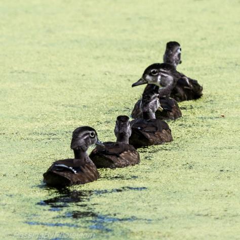 Wood Duck Ducklings