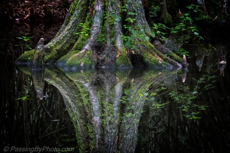 Reflection of Cypress Trunk in Pond