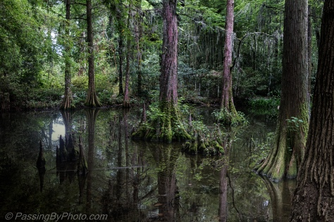 Reflection of Cypress Trees in Pond