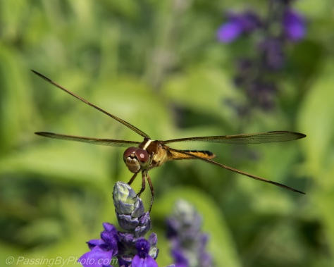 Dragon Fly Closeup