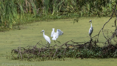 Juvenile Little Blue Herons