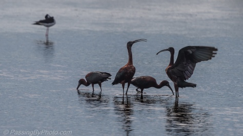 Glossy Ibis Quartet