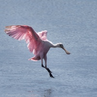 Spoonbills Get Points for Style