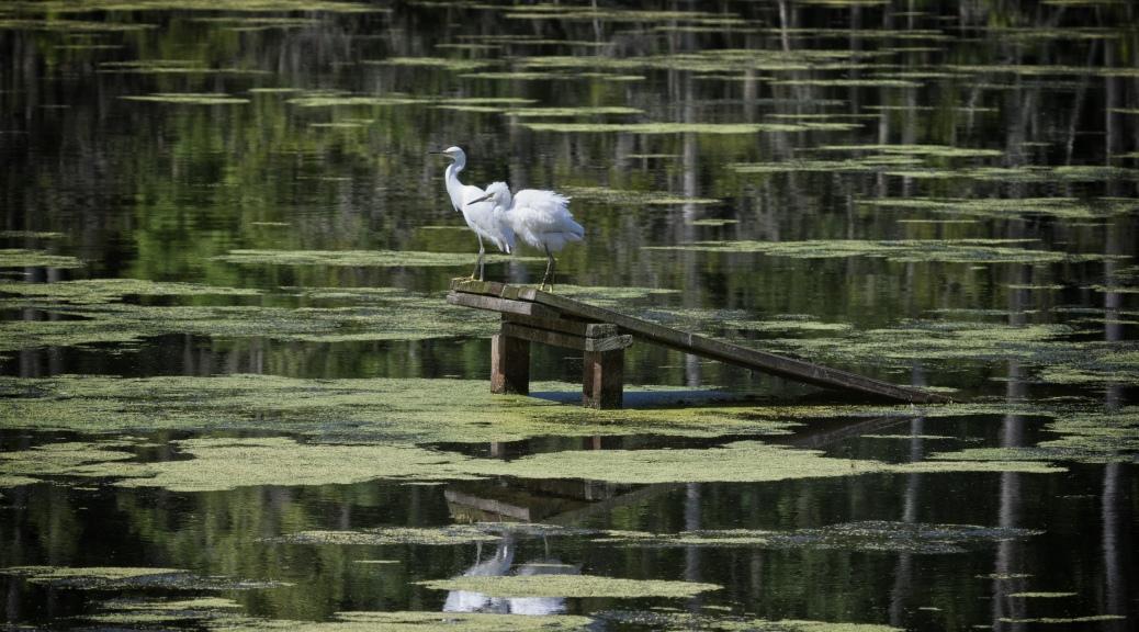Juvenile Snowy Egrets