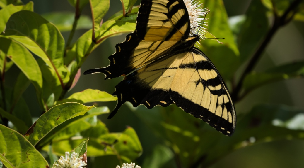 Swallowtail on Button Bush
