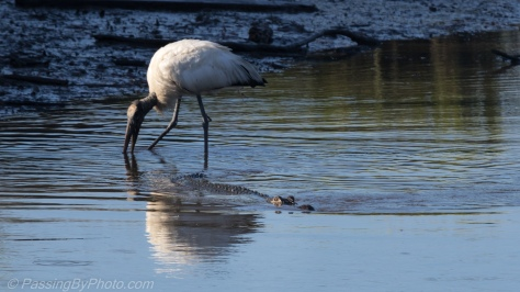 Wood Stork and Alligator