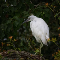 Juvenile Little Blue Heron Portraits