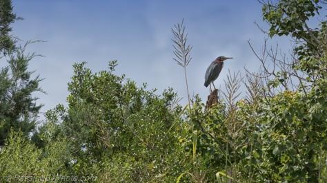 Green Heron Landscape