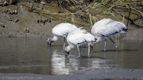 Wood Storks in Formation