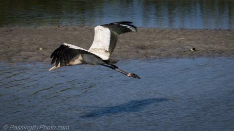 Wood Stork Flight
