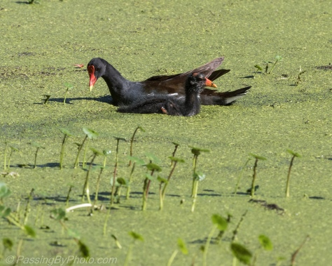 Common Gallinule Chick with Adult